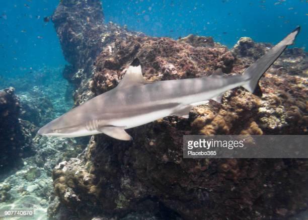 Underwater image of wild Black Tip Reef Shark (Carcharhinus melanopterus) swimming close up