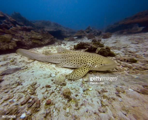 Underwater image of wild Endangered Species Zebra Leopard Shark (Stegostoma fasciatum) resting