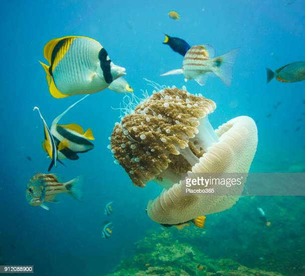 Underwater image of wild tropical fish feeding on Common Jellyfish (Thysanostoma thysanura)