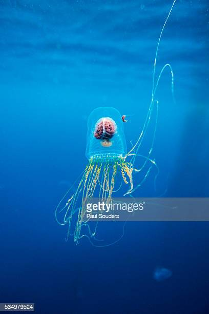 underwater jellyfish in diego ramirez islands, chile - invertebrate stock pictures, royalty-free photos & images
