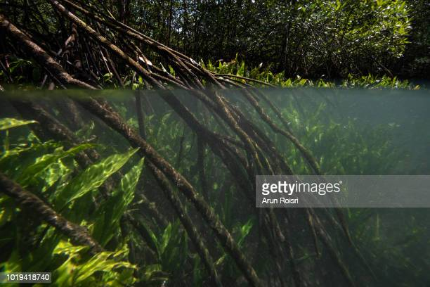 underwater life systems and mangrove trees in a peat swamp forest. tha pom canal area, krabi province, thailand - salt_marsh stock pictures, royalty-free photos & images
