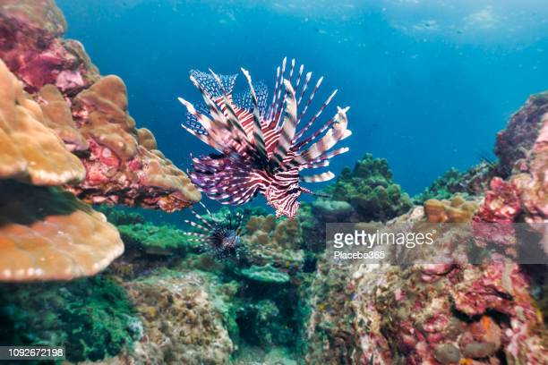 underwater lionfish aka zebrafish (pterois volitans) on coral reef - indian ocean stock pictures, royalty-free photos & images