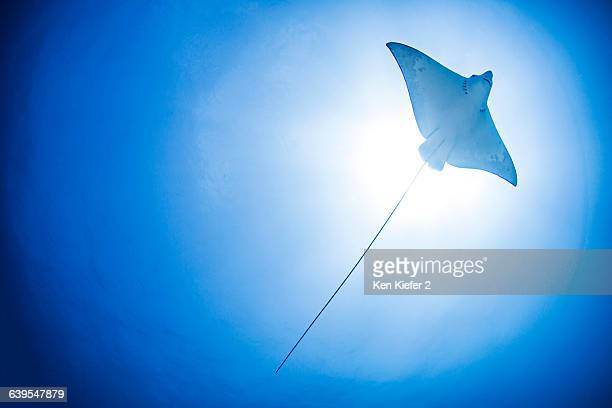 Underwater low angle view of manta ray, Cancun, Mexico