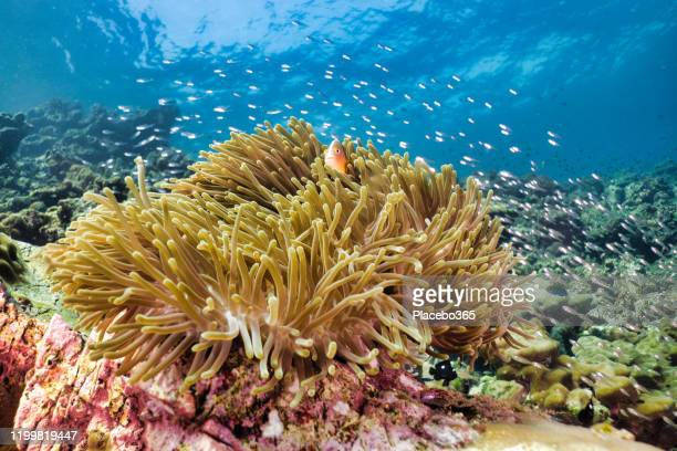 underwater magnificent sea anemone (heteractis magnifica) with skunk anemonefish clown fish (amphiprion ephippium) within - indo pacific ocean stock pictures, royalty-free photos & images