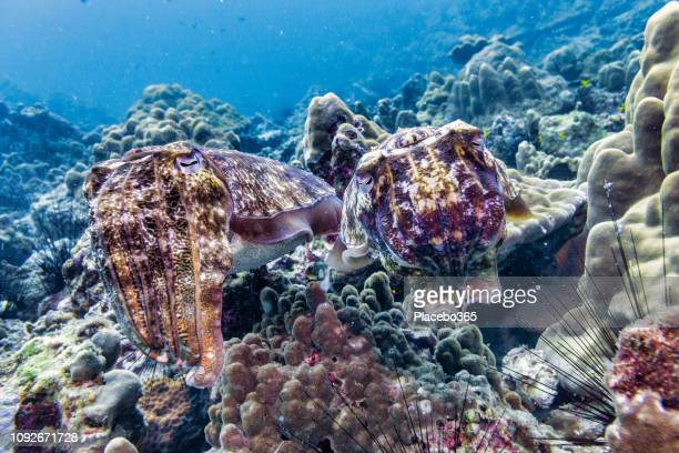 underwater male and female cuttlefish (sepia pharaonis) cephalopod mating ritual - disguise stock pictures, royalty-free photos & images