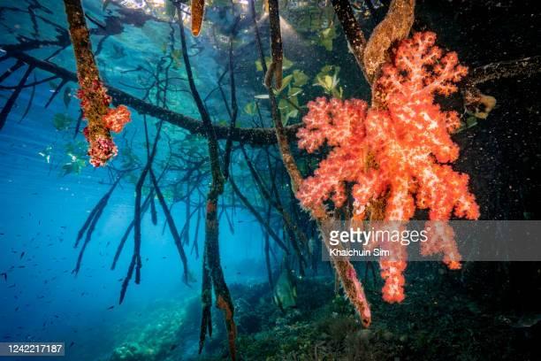 underwater mangrove area with corals - スクーバダイビングの視点 ストックフォトと画像