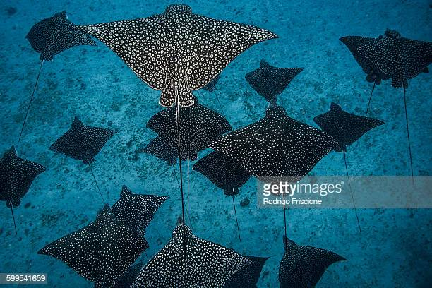 underwater overhead view of spotted eagle rays casting shadows on seabed, cancun, mexico - cancun stock photos and pictures