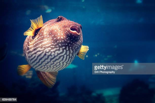 Underwater photo of a Puffer fish