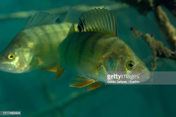 underwater photo of perca fluviatilis, commonly known as the common perch in soderica lake, croatia - perch fish stock pictures, royalty-free photos & images