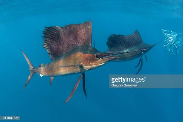 underwater photograph of sailfish hunting - swordfish stock pictures, royalty-free photos & images
