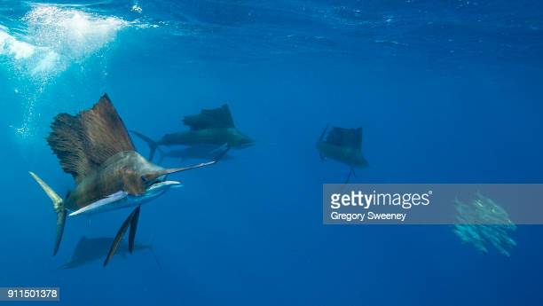 underwater photograph of sailfish hunting sardines - swordfish stock pictures, royalty-free photos & images