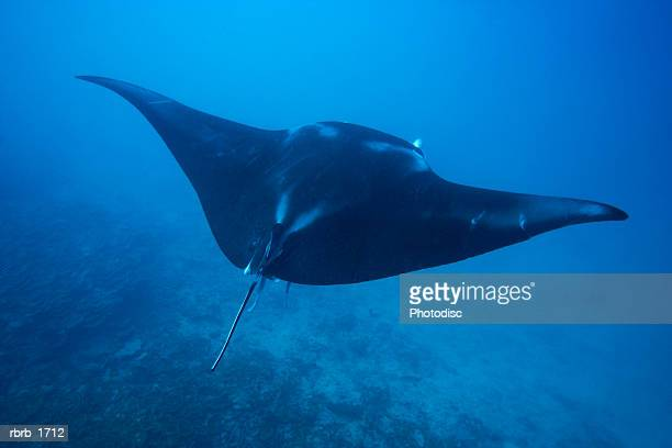 underwater photography of a stingray swimming through the water