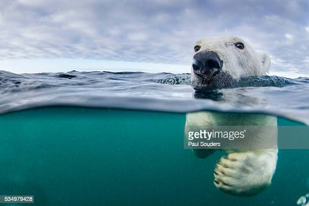 underwater polar bear by harbour islands, nunavut, canada - polar bear stock pictures, royalty-free photos & images