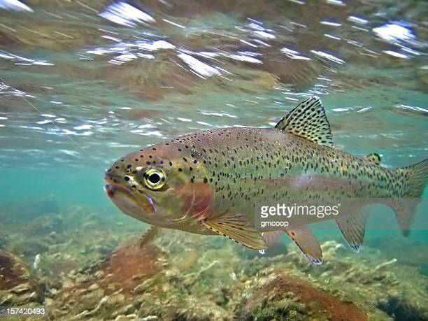 underwater rainbow trout - oncorhynchus mykiss - freshwater stock pictures, royalty-free photos & images