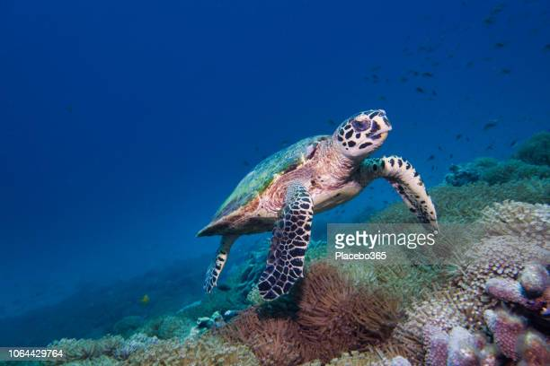 underwater rare encounter with critically endangered hawksbill sea turtle (eretmochelys imbricata) - animal themes stock pictures, royalty-free photos & images