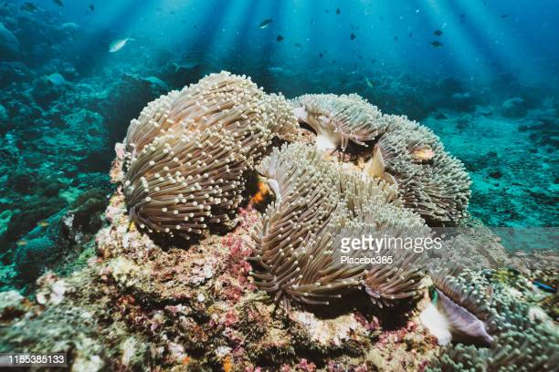 underwater reefscape of skunk anemonefish (amphiprion ephippium) clownfish in magnificent anemone (heteractis magnifica) coral - coral colored stock pictures, royalty-free photos & images