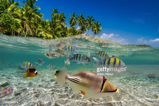 underwater scene with tropical fish. snorkeling in the tropical sea - cnidarian stock photos and pictures