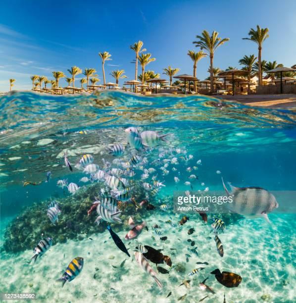 underwater scene with tropical fishes. snorkeling in red sea, egypt - ägypten stock-fotos und bilder
