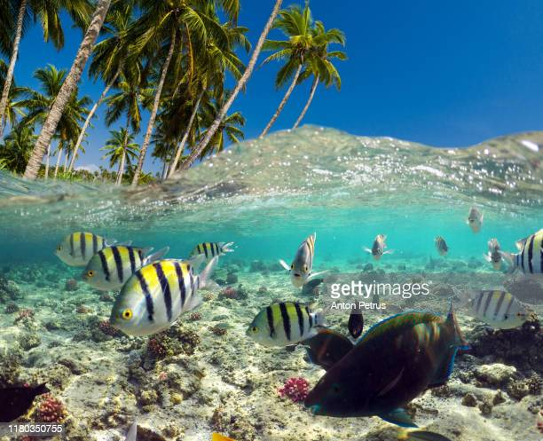 underwater scene with tropical fishes. snorkeling in the tropical sea - ile maurice photos et images de collection