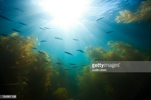 Underwater school of fish with kelp forest