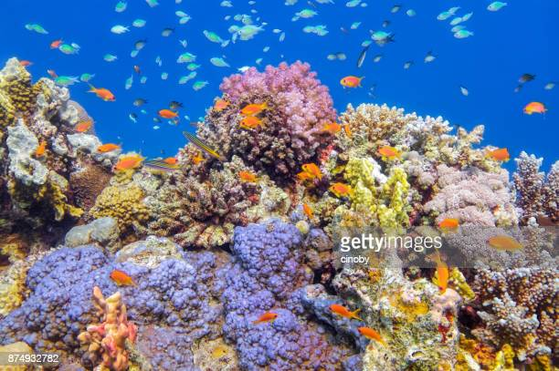 underwater sea life on beautiful coral reef with lot of tropical fish in red sea - marsa alam - egypt - soft coral stock pictures, royalty-free photos & images