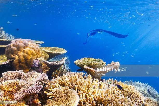 vita sottomarina - dasiatide foto e immagini stock