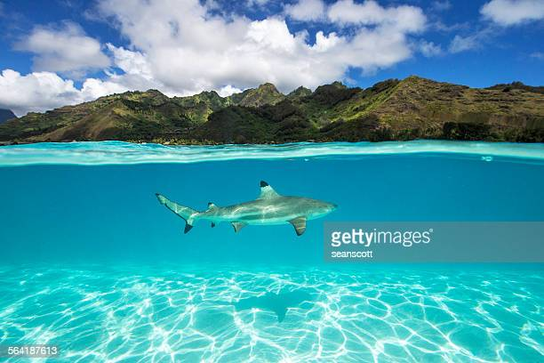 underwater shot of a black tip shark, tahiti, french polynesia - sharks stock pictures, royalty-free photos & images