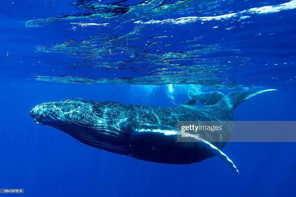 Underwater shot of a humpback whale, Tahiti, French Polynesia : Stock Photo