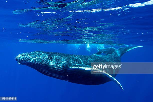 Underwater shot of a humpback whale, Tahiti, French Polynesia