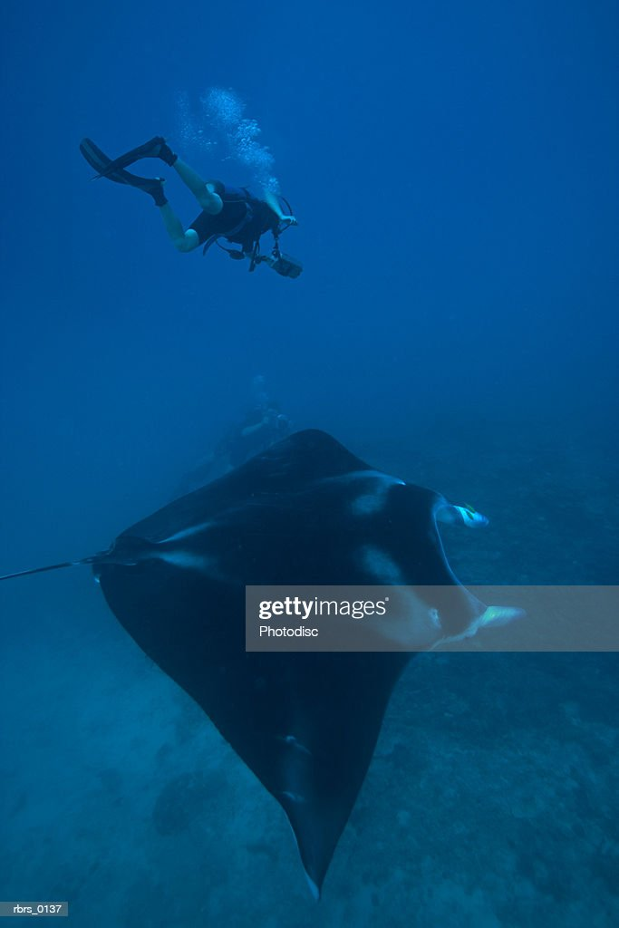 underwater shot of a scuba diver as he swims near a large stingray : Foto de stock
