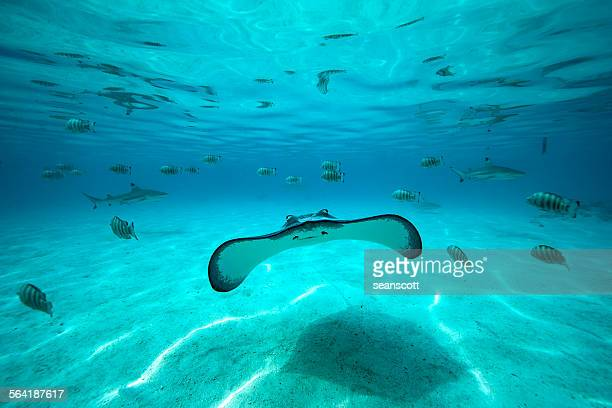 underwater shot of a stingray, fish and sharks in the background, tahiti, french polynesia - tahiti stock pictures, royalty-free photos & images