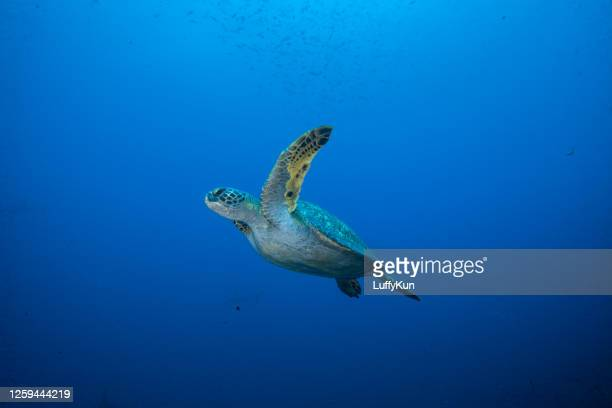 underwater shots of green and hawksbill sea turtles - aquatic organism stock pictures, royalty-free photos & images