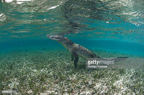 Underwater side view of crocodile on hind legs, Chinchorro Atoll, Quintana Roo, Mexico