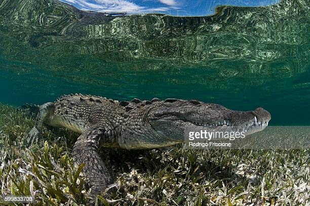 Underwater side view of crocodile on seagrass in shallow water, Chinchorro Atoll, Quintana Roo, Mexico