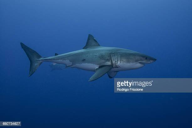 underwater side view of great shark, guadalupe island, mexico - great white shark stock photos and pictures
