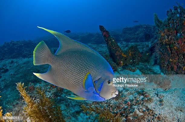 Underwater side view of queen angelfish, Cabo Catoche, Quintana Roo, Mexico