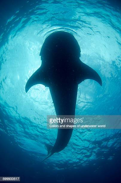 Underwater silhouette of Whale shark