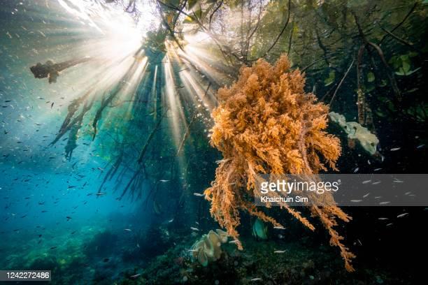 underwater sun ray in mangrove area with corals - スクーバダイビングの視点 ストックフォトと画像