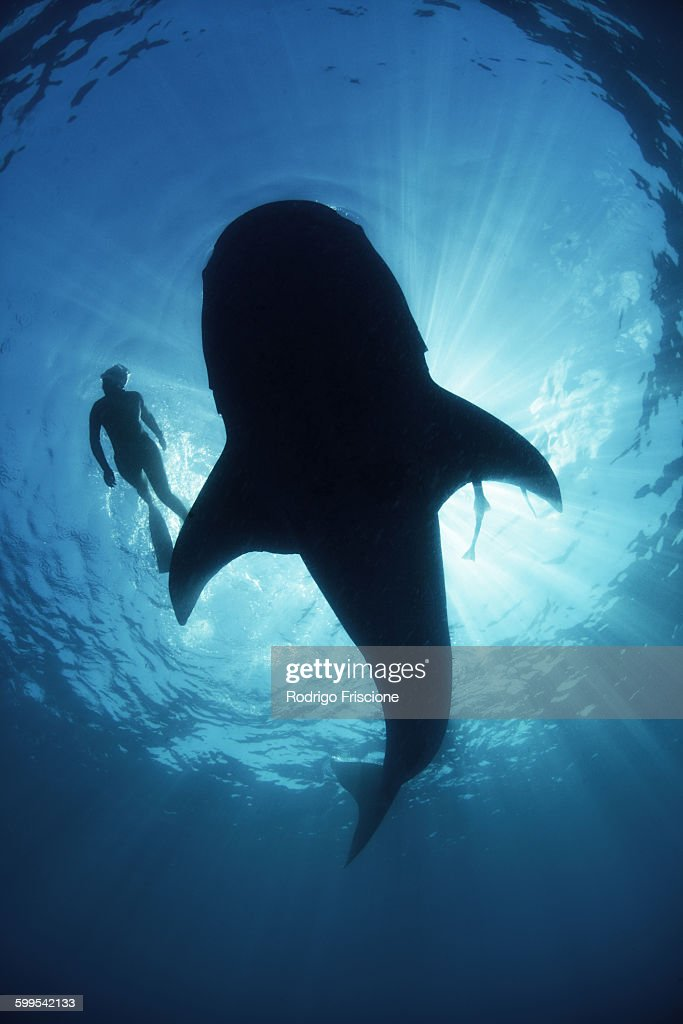 Underwater view from below a careless whale shark of scuba diver swimming alongside, backlit, Isla Mujeres, Mexico : Stock Photo