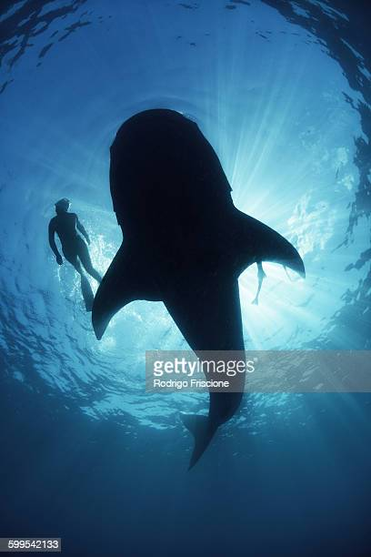 underwater view from below a careless whale shark of scuba diver swimming alongside, backlit, isla mujeres, mexico - isla mujeres ストックフォトと画像