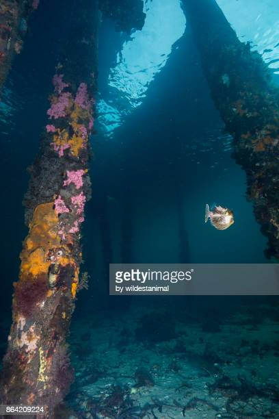 Underwater view of a coral covered pylon of the Tumby Bay jetty in the town of Tumby Bay, South Australia.