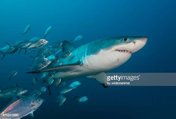 underwater view of a great white shark swimming with a school of jack fish around it's body, north neptune islands, south australia. - great white shark stock photos and pictures
