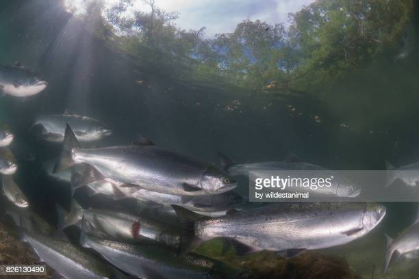 underwater view of a school of sockeye salmon migrating up the ozernaya river to spawn. here one of them has a deep cut most likely after it had survived an attack by a brown bear, kamchatka, russia. - grizzly bear attack stock pictures, royalty-free photos & images
