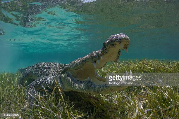 Underwater view of American crocodile (crodoylus acutus) in shallow waters of Chinchorro Atoll Biosphere Reserve, Quintana Roo, Mexico