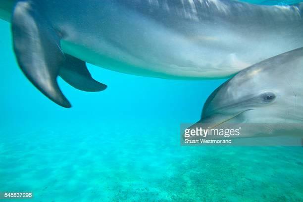 Underwater view of Bottlenose Dolphin, Roatan, Bay Islands, Honduras