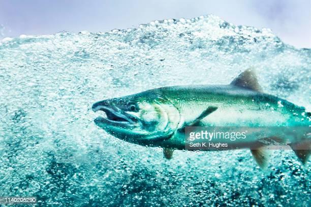 Underwater view of coho salmon (oncorhynchus kisutch) swimming in river, Juneau, Alaska, USA