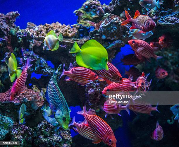 underwater view of colorful tropical fish, maui, hawaii - poissons exotiques photos et images de collection