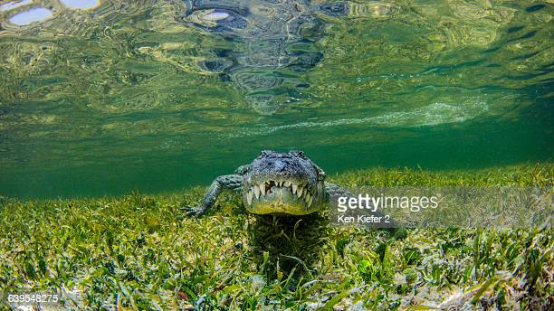 underwater view of crocodile on reef, chinchorro banks, mexico - crocodile photos et images de collection