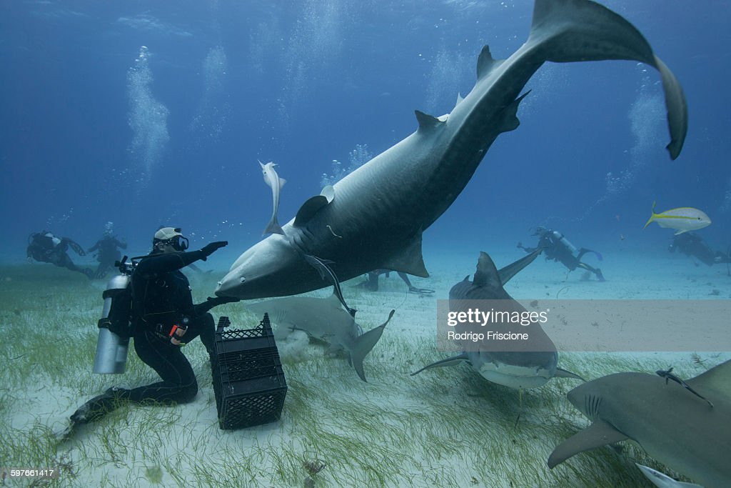 Underwater view of diver holding upside down tiger shark, Northern Bahamas Banks, Bahamas : Stock Photo