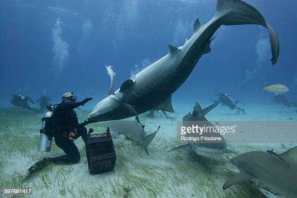 underwater view of diver holding upside down tiger shark, northern bahamas banks, bahamas - tiger shark stock photos and pictures
